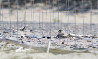 Piping Plover - Toronto, ON