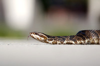 Water Mocassin (Florida Cottonmouth)