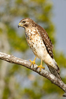 Red-shouldered Hawk (juv.)