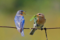 Eastern Bluebird Pair Exchanging Katydid