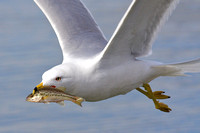 Ring-billed Gull and Largemouth Bass