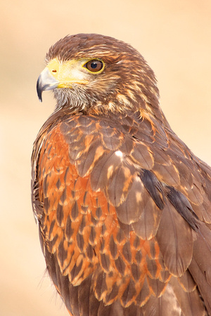 Juvenile Harris Hawk - Captive